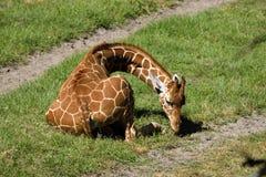 Behandla som ett barn giraffet på den djura reserven i Florida Royaltyfri Fotografi
