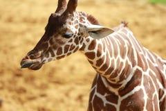 Behandla som ett barn giraffet på zoo Arkivfoton