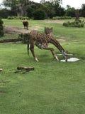 Behandla som ett barn giraffet som böjer hans långa ben till drinken från det bevattna hålet royaltyfri fotografi