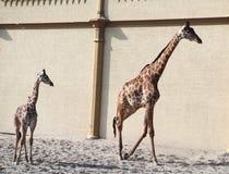 Behandla som ett barn giraffet trä för song för grouseförälskelsenatur wild Giraff på zooen royaltyfri foto