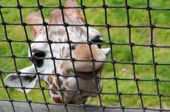 behandla som ett barn giraffhälsningar Arkivfoton