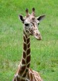 Behandla som ett barn giraffhuvud- och halsskottet Royaltyfria Foton