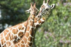 behandla som ett barn giraffmodern Arkivbilder