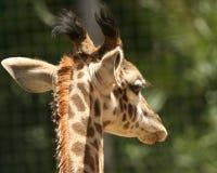 behandla som ett barn giraffståenden Arkivbild