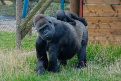 behandla som ett barn gorillamodern Royaltyfri Fotografi