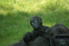 behandla som ett barn gorillan Arkivbild
