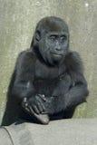 Behandla som ett barn gorillan royaltyfri foto