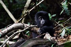 Behandla som ett barn gorillan Arkivbilder