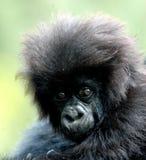 behandla som ett barn gorillan Royaltyfria Bilder