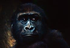 behandla som ett barn gorillan Fotografering för Bildbyråer