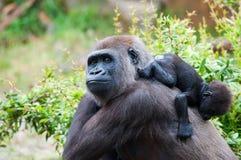 behandla som ett barn gorillan henne Royaltyfri Bild
