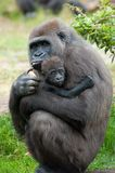 behandla som ett barn gorillan henne Royaltyfri Fotografi