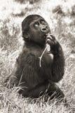 behandla som ett barn gorillasepia Fotografering för Bildbyråer