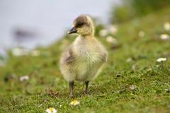 behandla som ett barn goslingen Arkivfoton
