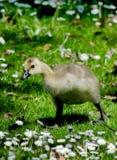 behandla som ett barn goslingen Royaltyfri Foto
