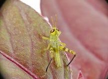 Behandla som ett barn gräshoppan royaltyfri fotografi