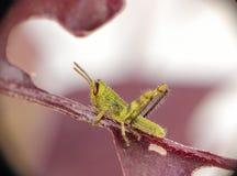 Behandla som ett barn gräshoppan royaltyfria bilder
