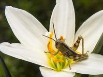 Behandla som ett barn gräshoppan Royaltyfria Foton