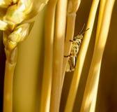 Behandla som ett barn gräshoppan på vete Royaltyfria Bilder