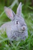 behandla som ett barn grå kanin Royaltyfria Foton