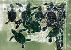 Behandla som ett barn gröna sköldpaddor Arkivfoto