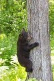 Behandla som ett barn gröngölingen för den svarta björnen Arkivfoto