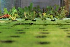 Behandla som ett barn grönsallat som växer i ett Hydroponic system Arkivbild