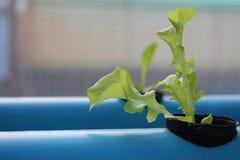 Behandla som ett barn grönsallat som växer i ett Hydroponic system Royaltyfria Foton