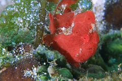 Behandla som ett barn grodafisken Royaltyfri Foto