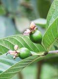 behandla som ett barn guavaen Arkivbild