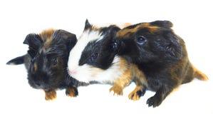 behandla som ett barn guineaen isolerade pigs Royaltyfria Bilder