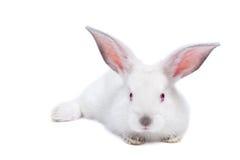 behandla som ett barn gullig isolerad kaninwhite royaltyfri foto