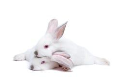 behandla som ett barn gullig isolerad white för kaniner två arkivfoton
