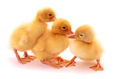 behandla som ett barn gulliga ducklings Fotografering för Bildbyråer