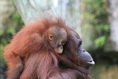 behandla som ett barn hänger orangutanen royaltyfri bild
