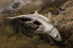 behandla som ett barn hajkadavret Arkivfoton