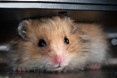 behandla som ett barn hamsteren Royaltyfri Bild