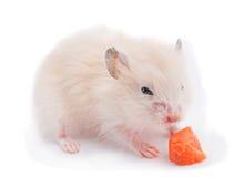 Behandla som ett barn hamsteren som äter moroten Royaltyfria Foton