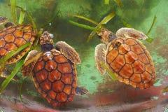 Behandla som ett barn havssköldpaddan Royaltyfri Fotografi