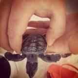 Behandla som ett barn havssköldpaddan Royaltyfria Foton