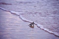 Behandla som ett barn havssköldpaddan Royaltyfri Foto