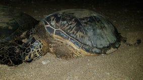 Behandla som ett barn havssköldpaddan i Hawaii Maui royaltyfria bilder