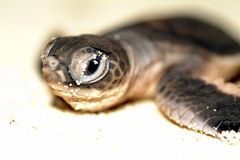 Behandla som ett barn havssköldpaddan som kryper till havet under solnedgång Royaltyfria Bilder