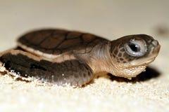 Behandla som ett barn havssköldpaddan som kryper till havet under solnedgång Royaltyfri Foto