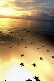 Behandla som ett barn havssköldpaddan som kryper till havet under solnedgång, den Sipadan ön, Sabah Arkivbilder