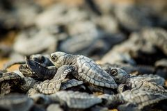 Behandla som ett barn havssköldpaddor kämpar för överlevnad, når du har kläckt i Mexico royaltyfri foto