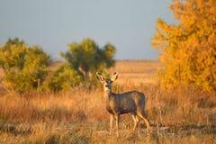 Behandla som ett barn hjortar i ett fält med Autumn Leaves på solnedgången Arkivbild
