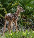 Behandla som ett barn hjortar i palmettosna Royaltyfria Foton