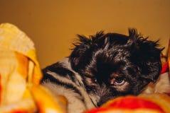 behandla som ett barn hundbisonen min hundförälskelsehundkapplöpning royaltyfri foto