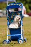 behandla som ett barn hunden sitter den små strolleren royaltyfria foton